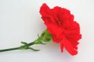 garofano rosso